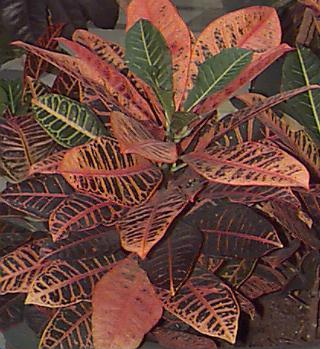 Poisonous house plants croton - Common house plants names ...