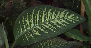 pretty dieffenbachia house plant. Dieff s are very popular Air Purification with House Plants  Dumbcane