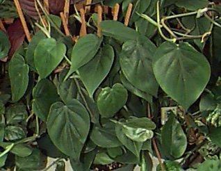p_cordatum Poisonous House Plant Ivy on poison ivy plants, perennial ivy plants, plant ivy plants, small ivy plants,